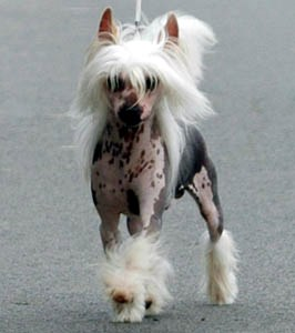 little champs chien chinois chinese crested. Black Bedroom Furniture Sets. Home Design Ideas